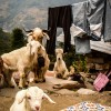 Goats, Poon Hill Trek