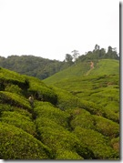BOH Tea Plantation, Cameron Highlands-5