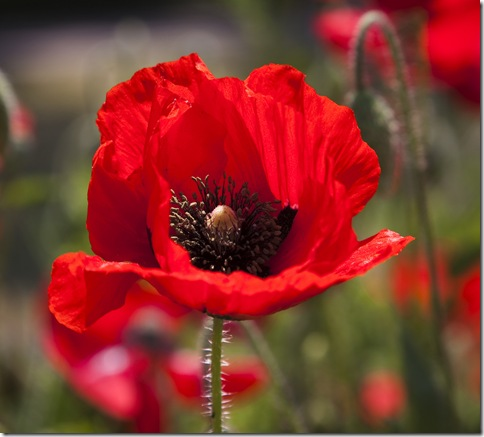 A red poppy grows in Century Park in Shanghai.